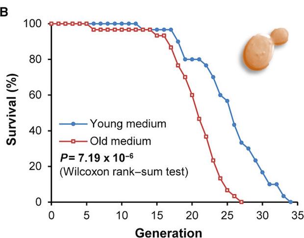 Выживаемость дрожжей на «молодой» (синяя линия) и «старой» (красная линия) диетах